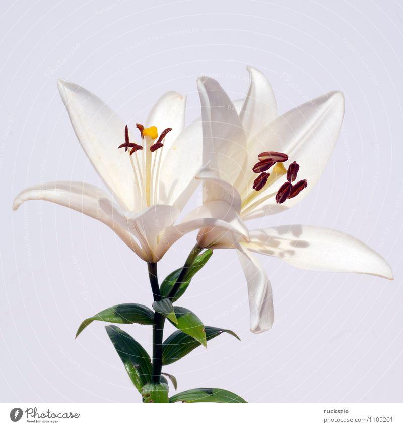 Weisse, lilie; hybride; lilien; hybriden; Natur Pflanze Blume Blüte frei weiß Lilien Zwitter Sommerblumen Gartenblume Gartenblumen Zierpflanze whitebox neutral