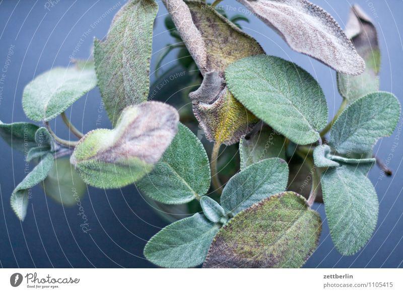 Salbei Pflanze grün Gesunde Ernährung Blatt Gesundheit Gesundheitswesen Sträucher Kochen & Garen & Backen Kräuter & Gewürze Küche Vegetarische Ernährung