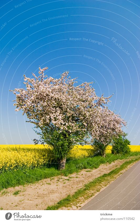 Sommertag Blüte Raps Feld grün gelb weiß Physik lang Wolken ruhig Sträucher Verlauf Mittag blau Himmel Straße Wege & Pfade Stein Sand Wärme Natur Schönes Wetter