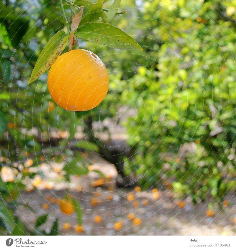 von der Sonne gereift... Lebensmittel Frucht Orange Bioprodukte Vegetarische Ernährung Umwelt Natur Landschaft Pflanze Frühling Schönes Wetter Baum Blatt