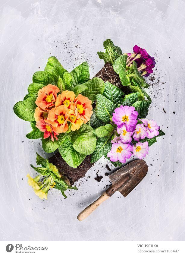Beetblumen mit Wurzeln und alter Schaufel Stil Design Freizeit & Hobby Sommer Garten Gartenarbeit Natur Pflanze Frühling Herbst Blume gelb Hintergrundbild Top