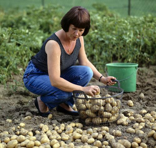 Kartoffelernte, kartoffeln, Gemueseernte; Frau Erwachsene Herbst Garten Arbeit & Erwerbstätigkeit Gemüse Ernte Alternativmedizin Korb Heilpflanzen Kartoffeln