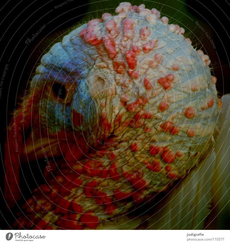 Truthahn rot Farbe Tier Lebensmittel Vogel Feder Bauernhof Schnabel Stolz Feiertag Aggression Außerirdischer Kamm