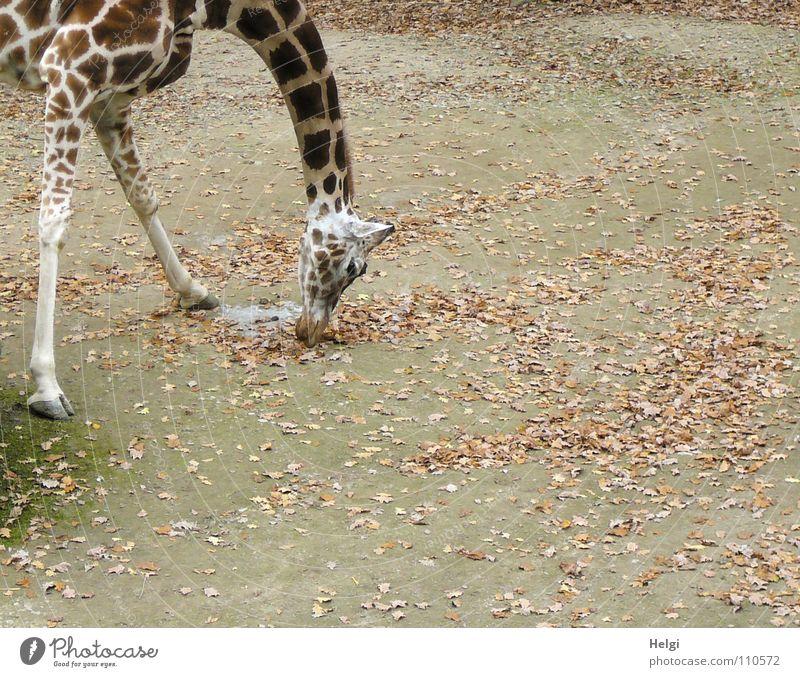 nix zu fressen da....??? Zoo groß lang bücken gebeugt Suche Futter Huf Gelenk Knie Muster Lippen Herbst Blatt braun weiß grün trüb krumm vertikal Garten Park