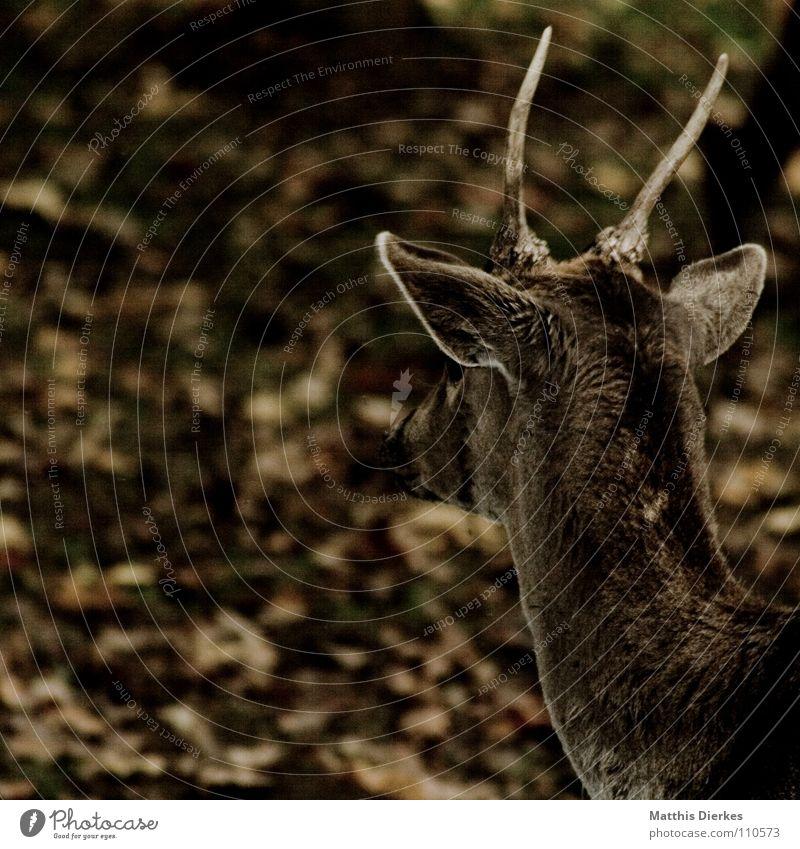 dammwild Tier Wald Wildtier süß Ohr beobachten zart Weide Zoo lecker Horn Hals Säugetier Respekt Hirsche Reh