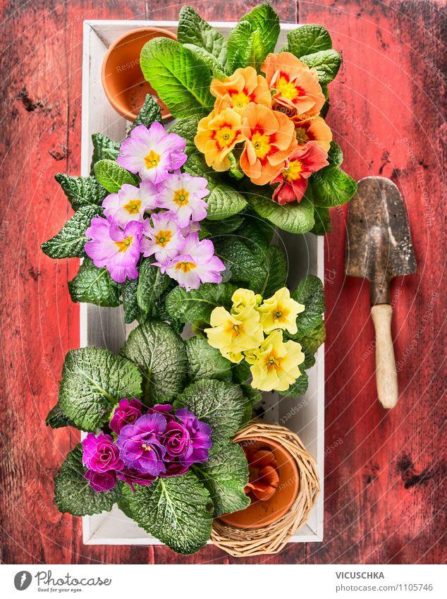 Bunte Primeln mit alter Handschaufel Natur Pflanze Sommer Blume Blatt Freude Haus gelb Frühling Blüte Stil Hintergrundbild Garten Stimmung Lifestyle