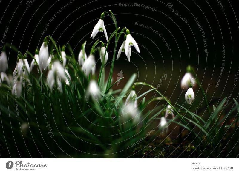 wilder Frühling Natur Pflanze Blume Maiglöckchen Frühblüher Frühlingsblume Blühend hängen frisch schön natürlich grün schwarz weiß Gefühle Stimmung