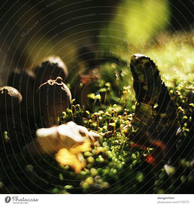 Lycoperdales Bovisten Sporen Fortpflanzung verbreiten grün braun Blatt Herbst Sonne Holzmehl Pilz Bofist Samen mushrooms fungal puffball puff-ball forest spores