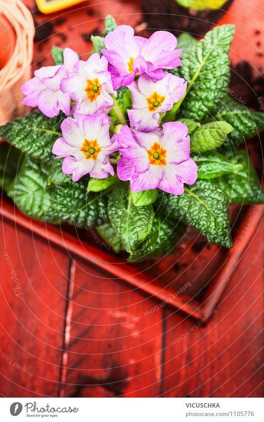 Pink Primeln auf rotem Holztisch Natur Pflanze Sommer Blume Blatt Innenarchitektur Stil Hintergrundbild Feste & Feiern Garten Stimmung rosa Freizeit & Hobby