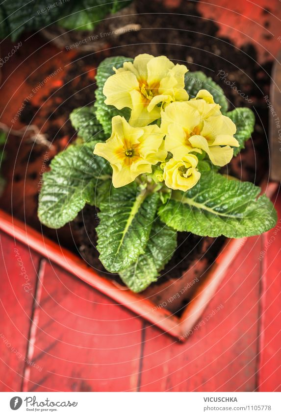 Gelbe Primeln auf rotem Holztisch Lifestyle Stil Design Sommer Wohnung Garten Dekoration & Verzierung Tisch Natur Pflanze Frühling Blume gelb grün