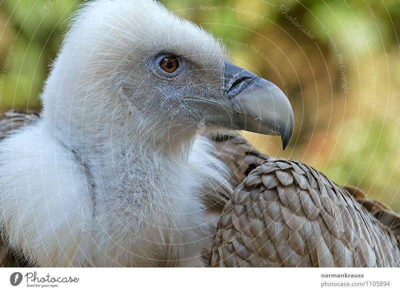 Gänsegeier schön Tier Vogel Kraft Feder beobachten Zoo Schnabel Stolz Greifvogel Geier Aasfresser Vogelkopf