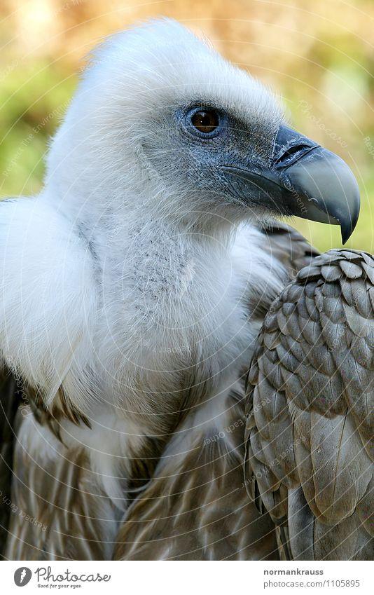 Gänsegeier Tier Vogel Kraft Feder beobachten Wachsamkeit Zoo Schnabel gefiedert Greifvogel Geier Aasfresser Vogelkopf