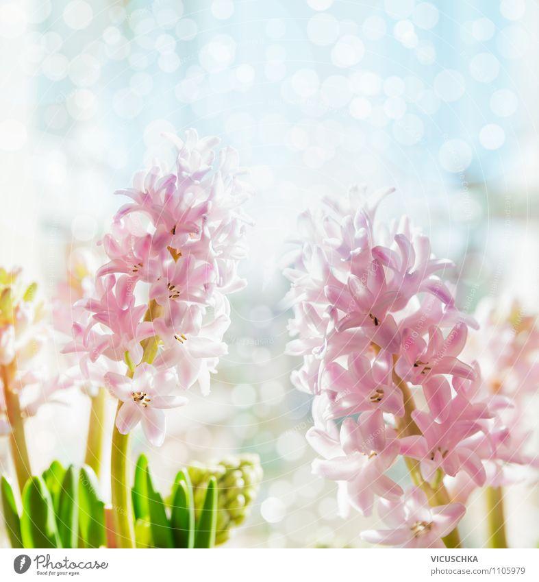 Rosa Hyazinthen auf blauem Bokeh Hintergrund Natur Pflanze Blume Freude Liebe Frühling Innenarchitektur Stil Hintergrundbild Garten Lifestyle Stimmung rosa