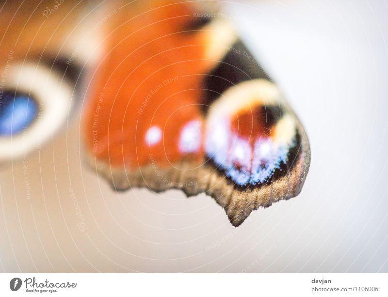 dots per inch Umwelt Natur Schmetterling Tagpfauenauge 1 Tier ästhetisch blau gelb orange schwarz weiß Flügel Insekt Tagfalter Augenflecken Auflösung Tarnung