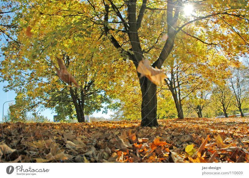Goldener Herbst Blatt Herbstlaub Baum fallende Blätter Herbstmotiv goldener Herbst