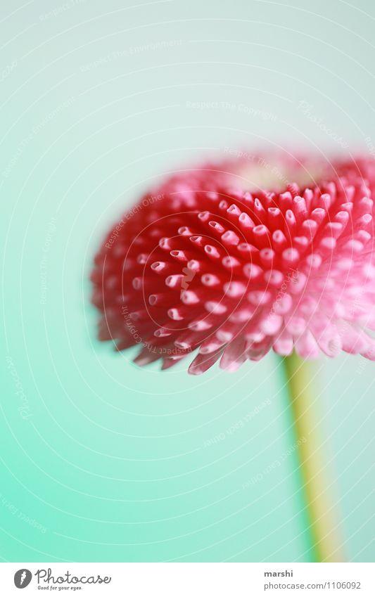 Belli Natur Pflanze Blume Blatt Blüte Stimmung rosa Gänseblümchen Grünpflanze