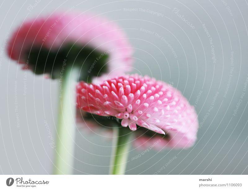 Bellis Natur Landschaft Frühling Sommer Pflanze Blume Blatt Blüte Grünpflanze Nutzpflanze Stimmung Gänseblümchen rosa Frühlingsblume Schwache Tiefenschärfe