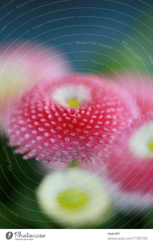 Bellis Natur Pflanze schön Blatt Frühling Blüte Stimmung rosa Gänseblümchen Frühlingsblume