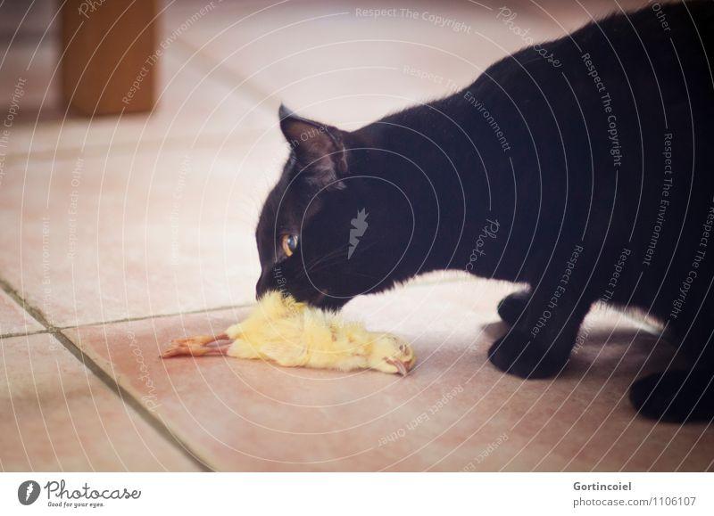 Katzen... Tier schwarz natürlich Vogel Ernährung Fell Tiergesicht Haustier Geruch Fressen Hauskatze Küken artgerecht Fleischfresser Katzenfutter