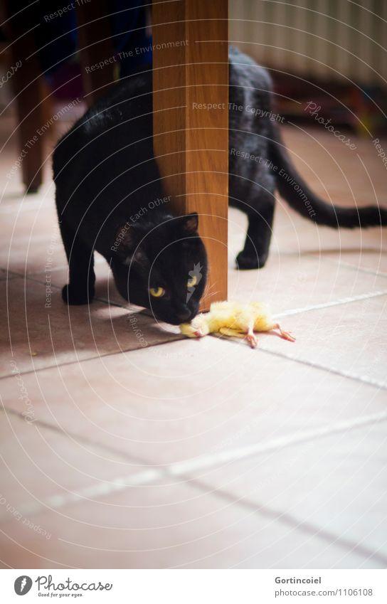...sind... Katze Tier schwarz natürlich Vogel Ernährung Tiergesicht Haustier Geruch Fressen Hauskatze Küken artgerecht Fleischfresser Katzenfutter