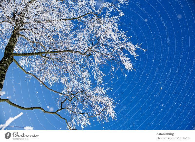 winterlicher Baum Umwelt Natur Landschaft Pflanze Himmel Wolkenloser Himmel Winter Wetter Schönes Wetter Eis Frost Schnee frieren Wachstum kalt blau schwarz