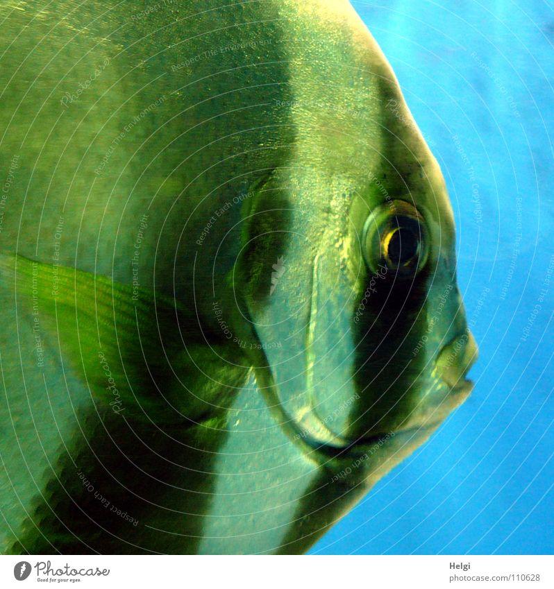 Nahaufnahme eines Scalars in einem Aquarium Zoo Fischmaul Lippen Kieme nass groß Blick Streifen glänzend weiß schwarz grün Tier schimmern Makroaufnahme