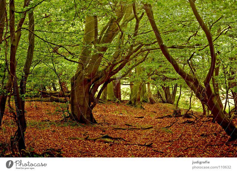 Darßwald Wald Baum Blatt Buche Laubbaum Umwelt Urwald Nationalpark Farbe Natur