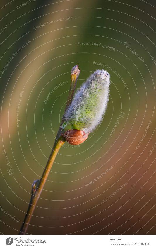 f/auschig Biologie Botanik Umwelt Natur Pflanze Frühling Klima Schönes Wetter Sträucher Blütenknospen Zweig Weidenkätzchen kuschlig natürlich neu schön weich