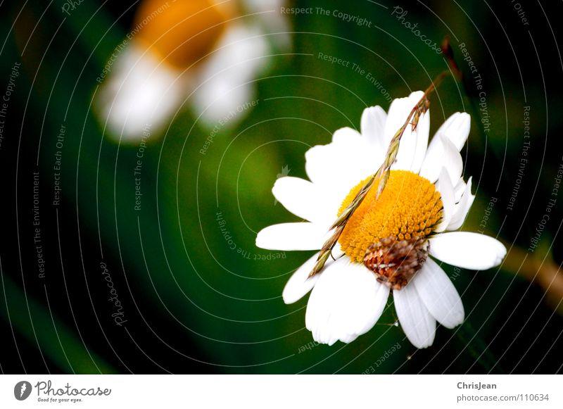 Gänseblümchen Natur schön weiß Blume grün Pflanze Sommer Tier gelb Wiese Blüte Gras Wildtier Halm Gänseblümchen Spinne