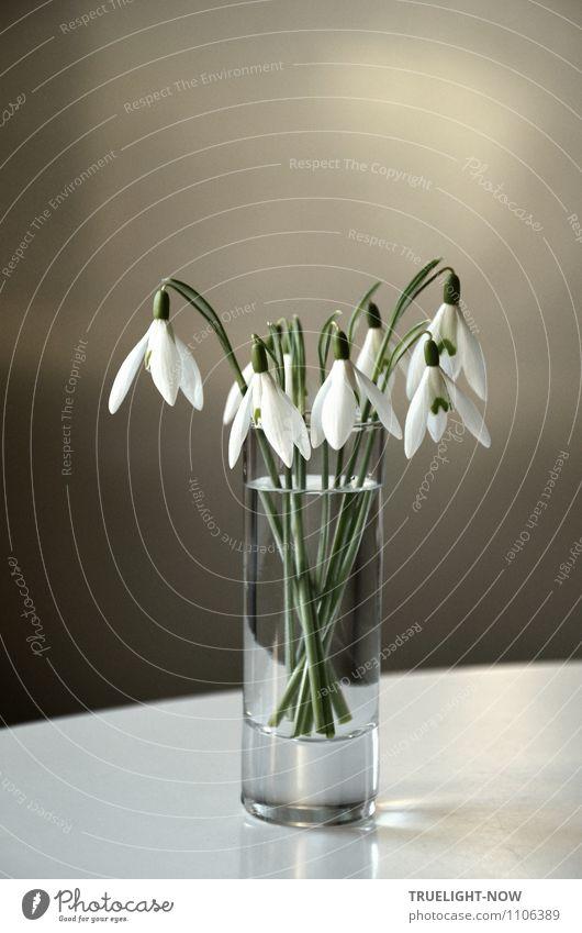 Schneeglöckchen im Glas 1 Pflanze schön grün weiß Wasser Erholung Blume ruhig Freude Blüte Stil grau Lifestyle Wohnung Zufriedenheit Raum