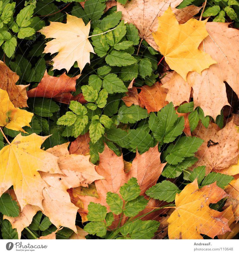 Ahorn und Bhorn Blatt Herbst Hintergrundbild Herbstlaub herbstlich November Ahornblatt Herbstfärbung Oktober Waldboden September Laubbaum