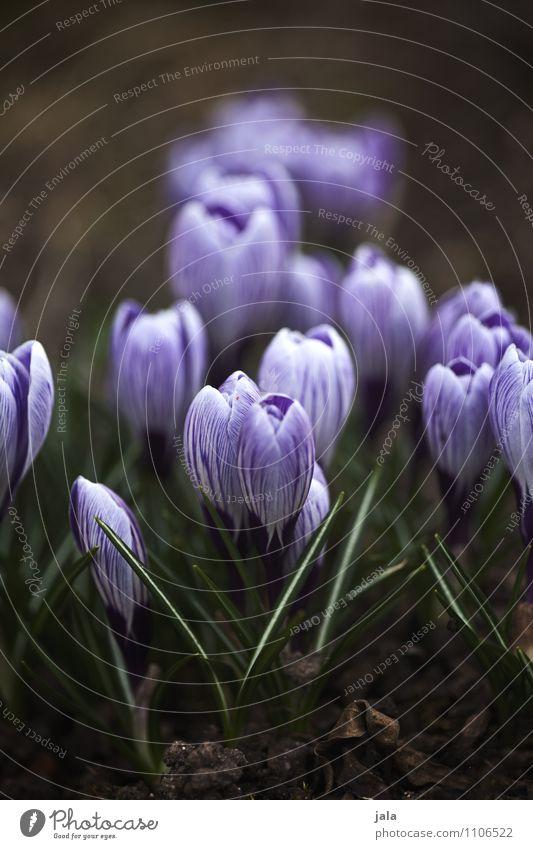 krokusse Natur Pflanze schön Blume Blatt Umwelt Frühling Blüte natürlich Garten ästhetisch Krokusse