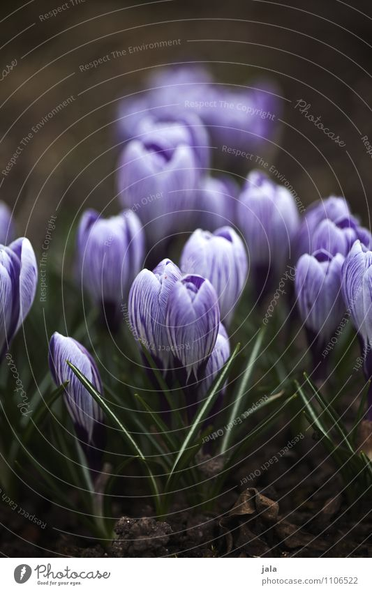 krokusse Umwelt Natur Pflanze Frühling Blume Blatt Blüte Krokusse Garten ästhetisch natürlich schön Farbfoto Außenaufnahme Menschenleer Tag