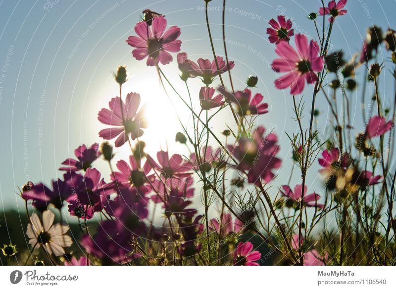 Kosmosblume Natur Pflanze Luft Sonne Sonnenaufgang Sonnenuntergang Sonnenlicht Sommer Herbst Klima Schönes Wetter Blume Gras Blatt Blüte Garten Park Feld Glück
