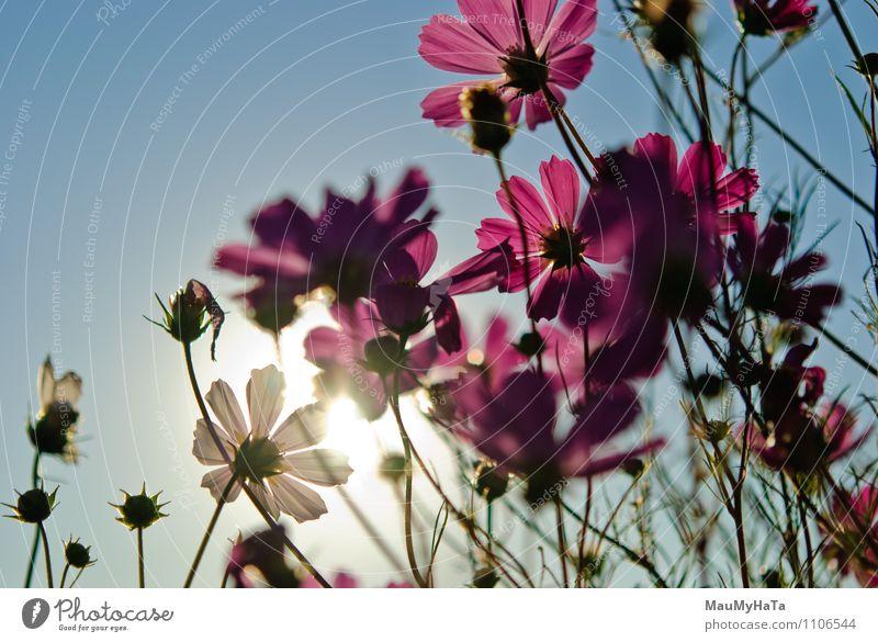 Kosmos Blume Natur Pflanze Luft Himmel Sonne Sonnenaufgang Sonnenuntergang Sonnenlicht Sommer Herbst Klima Schönes Wetter Gras Blatt Blüte Garten Park Feld