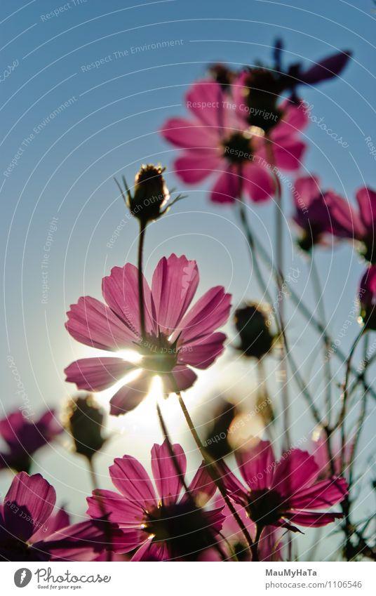 Kosmosblume Natur Pflanze Luft Himmel Sonne Sonnenaufgang Sonnenuntergang Sonnenlicht Sommer Herbst Klima Schönes Wetter Blume Gras Blatt Blüte Garten Park Feld
