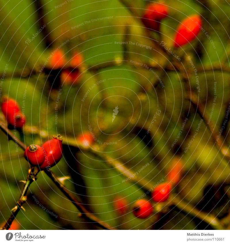 hagebutten Natur Pflanze rot dunkel Traurigkeit Herbst Tod Denken Lebensmittel Linie Frucht Angst Ordnung trist Sträucher Ast