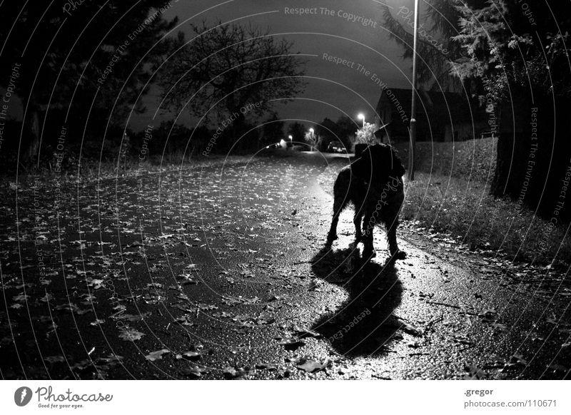 Novembernacht ruhig Blatt schwarz Straße dunkel Herbst grau Hund Regen Angst nass Spaziergang fallen geheimnisvoll Laterne feucht