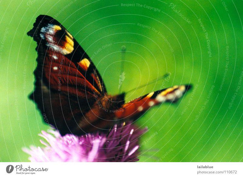 schmetttterling Glück schön Sommer Frühling Schönes Wetter Blume Garten Park Schmetterling Flügel Insekt 1 Tier fliegen sitzen warten frei Neugier braun grün