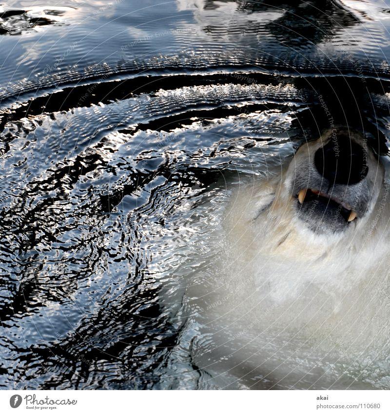 Planschbär Natur Wasser schön Freude Farbe kalt Erholung Herbst Umwelt nass Schwimmen & Baden Zoo Fliesen u. Kacheln Säugetier Wohlgefühl