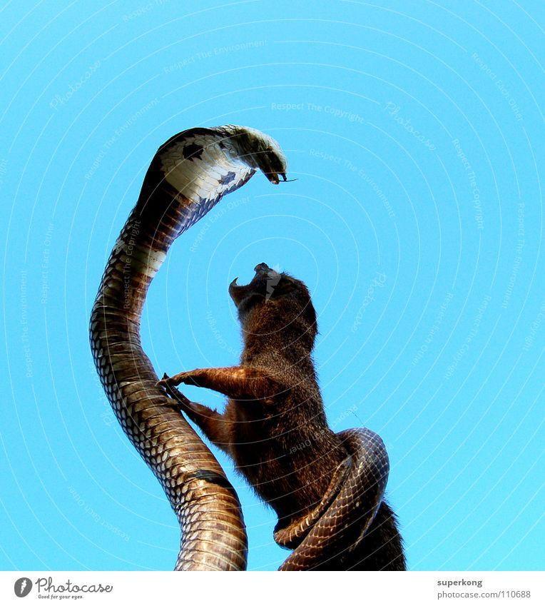 fight blau Reptil Quadrat kämpfen Schlange