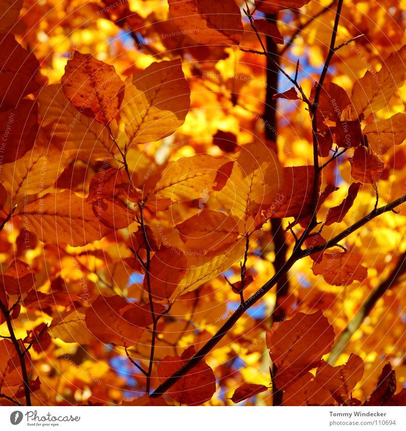 Blattgold Herbst Oktober November Baum Wald mehrfarbig gelb Pflanze Jahreszeiten Herbstfärbung braun Herbstlaub Herbstwald Laubbaum Eiche Landwirtschaft Park
