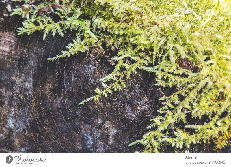 Zuwachs Pflanze Moos Baumstamm Holz Wachstum braun gelb grün nachhaltig Natur feucht hellgelb hellgrün holzig Außenaufnahme Menschenleer Textfreiraum links