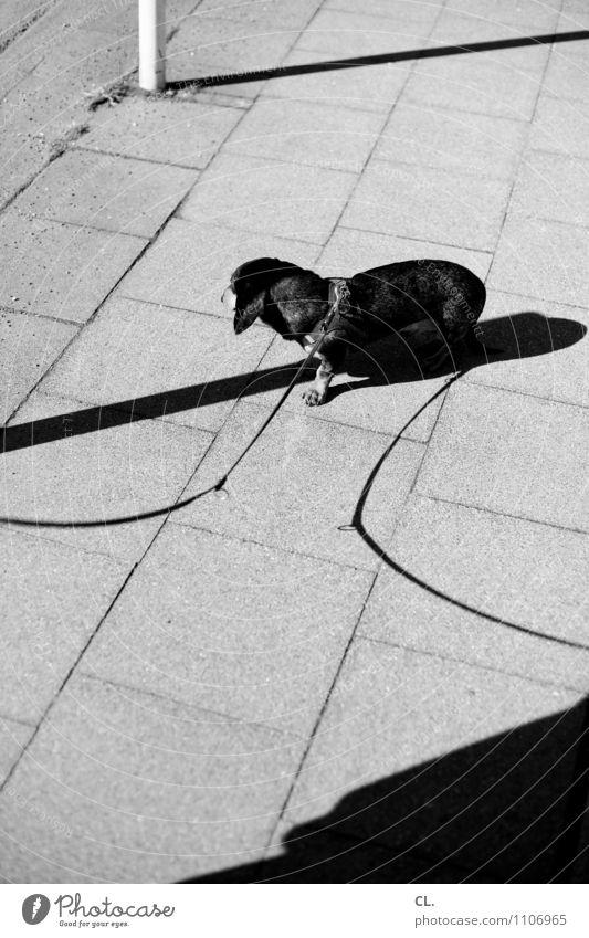 doppelt hält besser Verkehrswege Wege & Pfade Bürgersteig Tier Hund Dackel 1 Hundeleine warten Tierliebe Freizeit & Hobby Schwarzweißfoto Außenaufnahme
