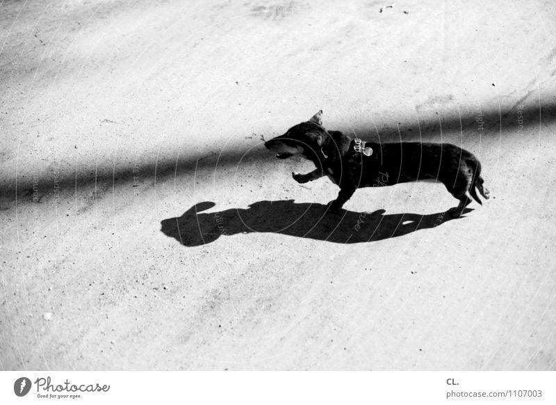 putzmunter Hund Freude Tier Bewegung Wege & Pfade Freizeit & Hobby Fröhlichkeit laufen Lebensfreude Schönes Wetter Boden Haustier Tierliebe Dackel