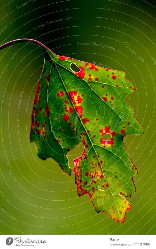 ein Herbstblatt Umwelt Natur Urelemente Klima Klimawandel Schönes Wetter Wind Pflanze Blatt Wildpflanze alt gelb grün rot Farbe lkpro Foglia Autunno colori