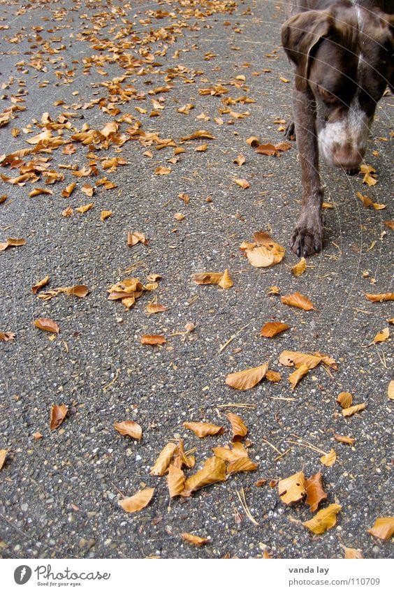 On the road Hund Blatt Tier Straße Herbst Spielen Luft braun Wetter laufen Nase Spaziergang Asphalt Jagd Geruch Säugetier