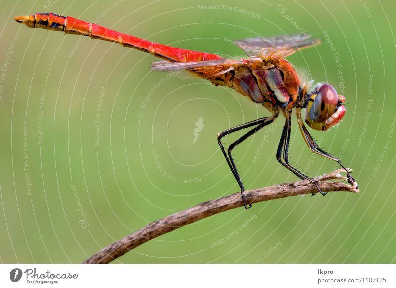 Libelle Lifestyle Umwelt Natur Pflanze Tier Wildtier Holz braun gelb gold grün rot schwarz Abenteuer Aggression Farbe lkpro rote Libelle colori Verleumdung