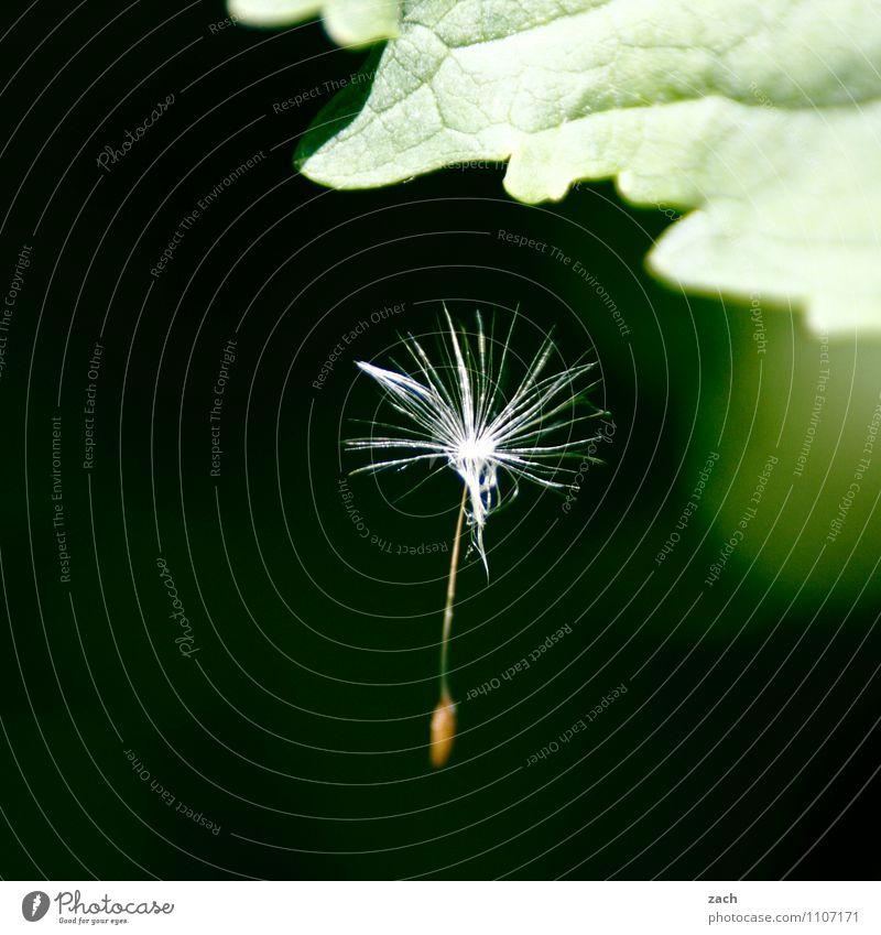 in der Schwebe Natur Frühling Pflanze Blume Sträucher Blatt Grünpflanze Löwenzahn Garten fliegen hängen verblüht Wachstum grün Schweben Farbfoto Außenaufnahme