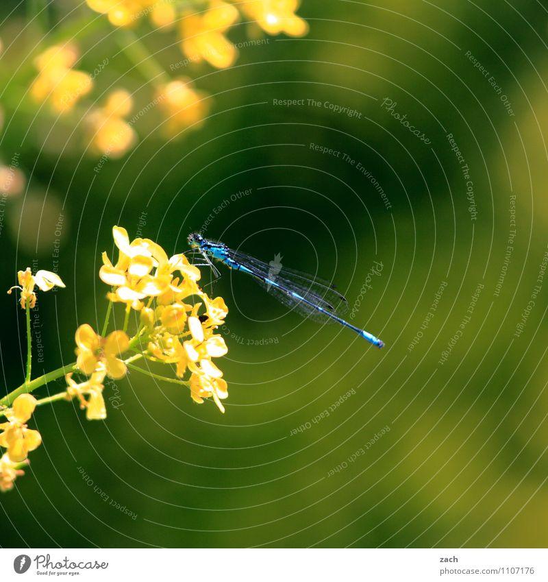 angedockt Frühling Sommer Pflanze Blume Gras Sträucher Blatt Blüte Grünpflanze Garten Wiese Tier Wildtier Insekt Libelle 1 fliegen blau gelb grün Farbfoto